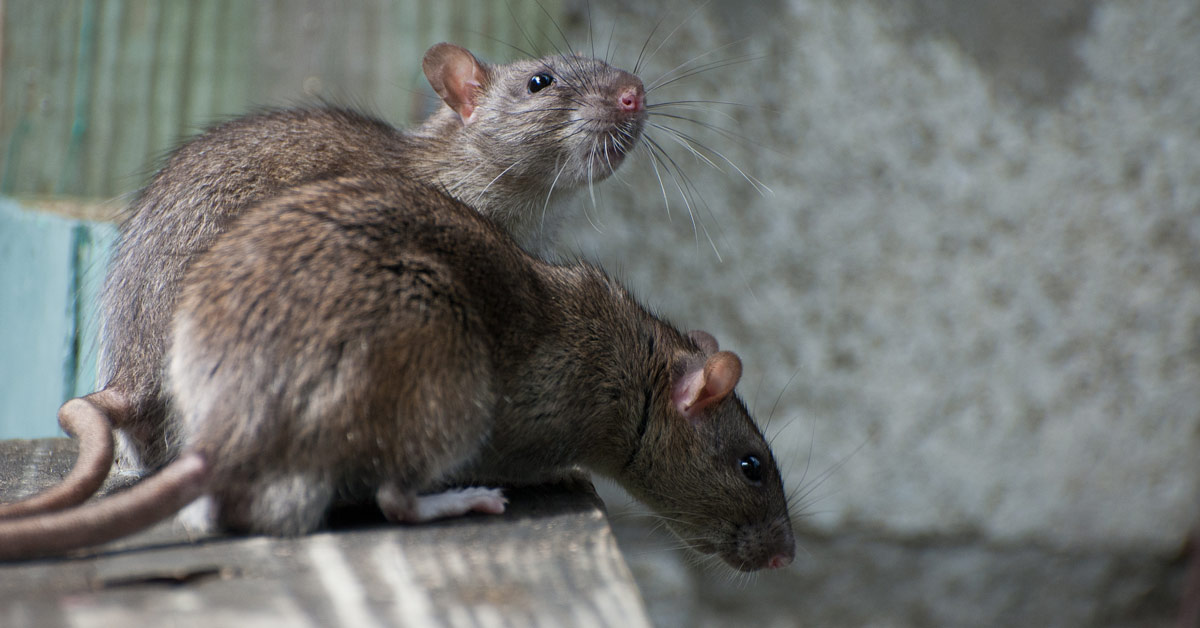 Problem with rats? Get rid of rats quickly and effectively with professional help.